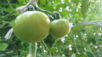 tomatolove.jpg